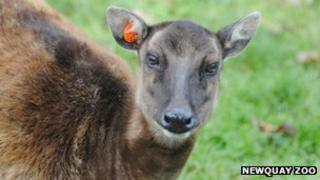 Phyllis the Philippine spotted deer