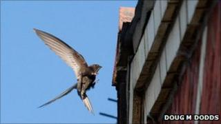 Swift flying into nest