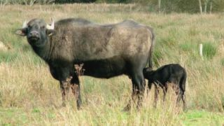 The baby buffalo and its mother