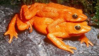 Scarlet frog