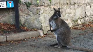 The escaped wallaby