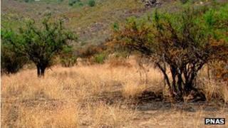 Helenium aromaticum among Acacia caven trees (Image: PNAS)