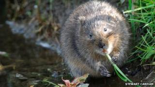 A water vole in Dorset