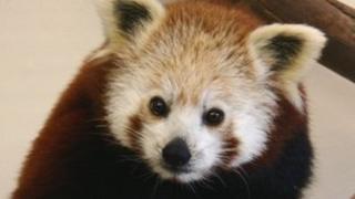 Qui the red panda