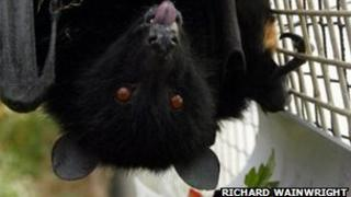 Fruitbat at Durrell