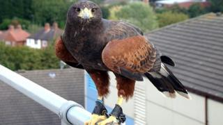 Harris hawk on the roof of the Royal Derby Hospital