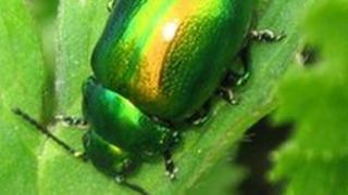 Tansy Beetle
