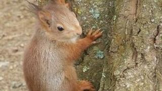 Red Squirrel in Jersey