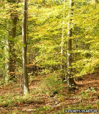 Beech woodland (Image: Robert Pickett/Plantlife)