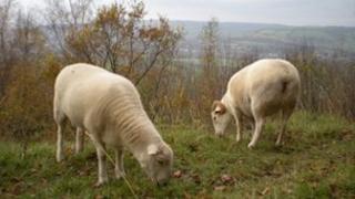 Sheep at Brown's Folly