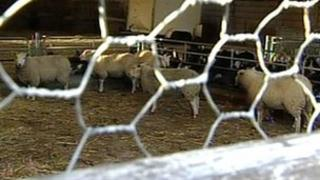 Injured sheep at Leicestershire farm