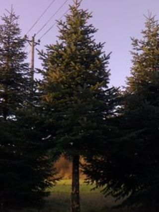 The fir tree growing on Christmas Common
