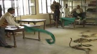 Snakes let loose in Indian office (Photo: Sateesh Srivastava)