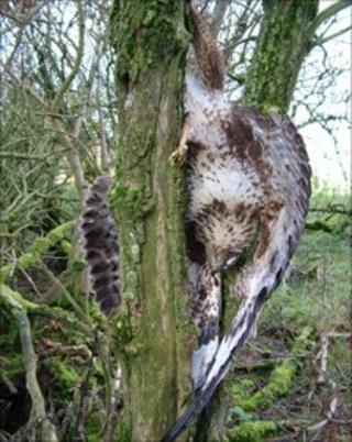 One of the buzzards poisoned by Whitefield