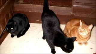 Three unneutered male cats left in a cardboard box