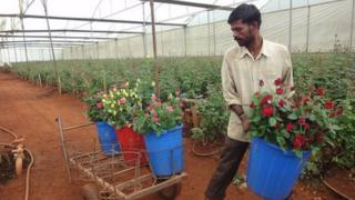 Rose farm in Doddaballapur