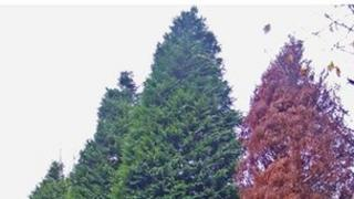 Lawson cypress trees (diseased one on the right). Picture: Yorkshire Water