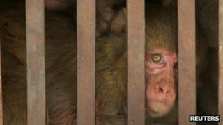 File photo of Indian monkey