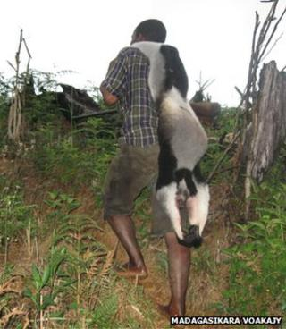 Man carrying dead indri (Image: Madagasikara Voakajy)