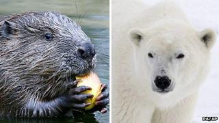 Montage image (L) Beaver and (R) a polar bear