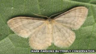 Silky wave moth