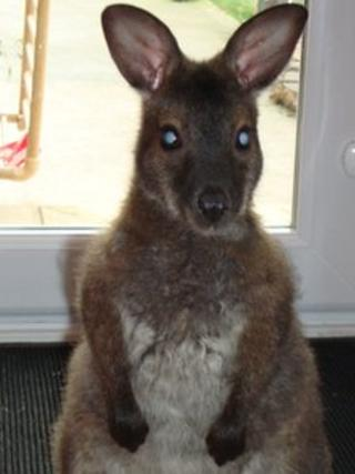 Bruce the wallaby