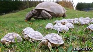 Tortoise and hatchlings