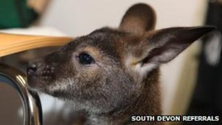 Bruce the wallaby. Pic: South Devon Referrals