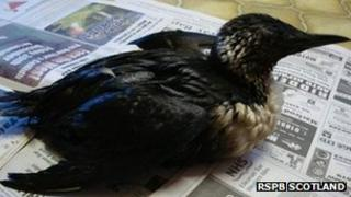 Oil covered guillemot. Pic: RSPB Scotland
