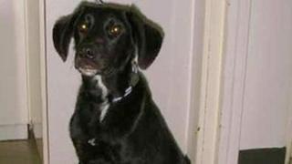 Labrador puppy Max