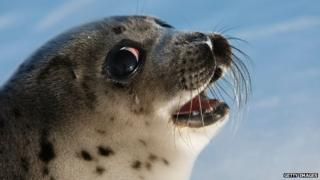 Harp Seal pup in Canada