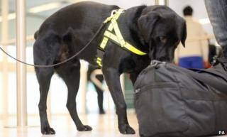 Buster the sniffer dog at Gatwick Airport, Sussex