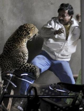 Wild leopard attacks man in Gauhati (07/01/12)