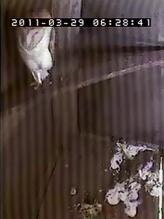 "CCTV picture of a barn owl inside a ""super-sized"" home at a farm in Down Ampney"