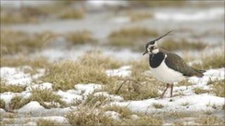 A Lapwing on some wetland.