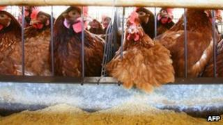 Hens in a battery cage