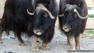 Musk Ox at Highland Wildlife Park. Pic: Highland Wildlife Park