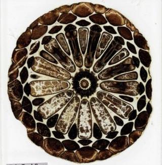 Darwin fossils