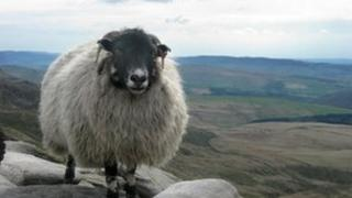 File picture of a sheep in Kinder Scout, Derbyshire Peak District in England