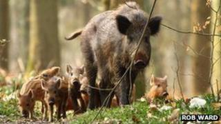 A wild boar with hoglets in the Forest of Dean, taken by Rob Ward