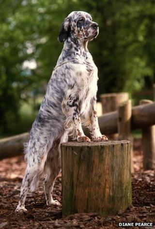English setter (Diane Pearce)