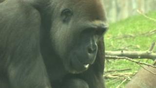 Njema the gorilla