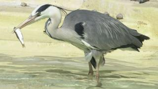 Henry the heron eating a fish