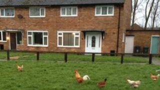 Chickens at Banks, Southport