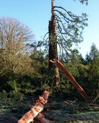 Redwood tree damaged by lightning