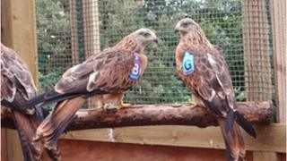 Blue Purple G with another Red Kite in 2007