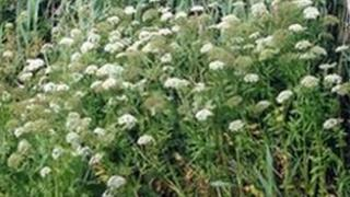 The Greater Water Parsnip