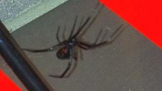 Black Widow spider found at RNAS Yeovilton in Somerset