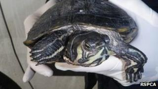 Terrapin which went through machinery at a recycling plant