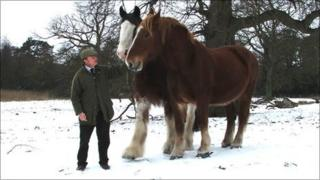 Suffolk Punch with a Clydesdale